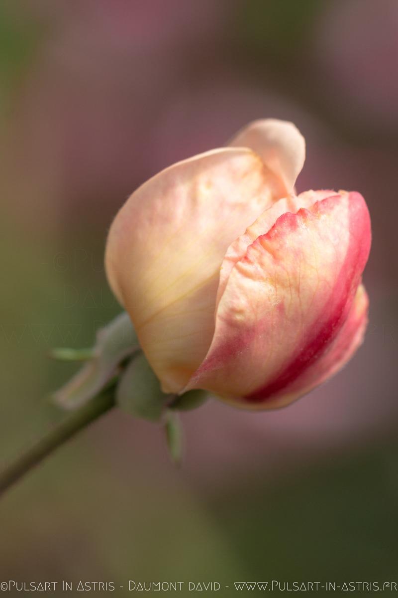 rose avec rosé du matin