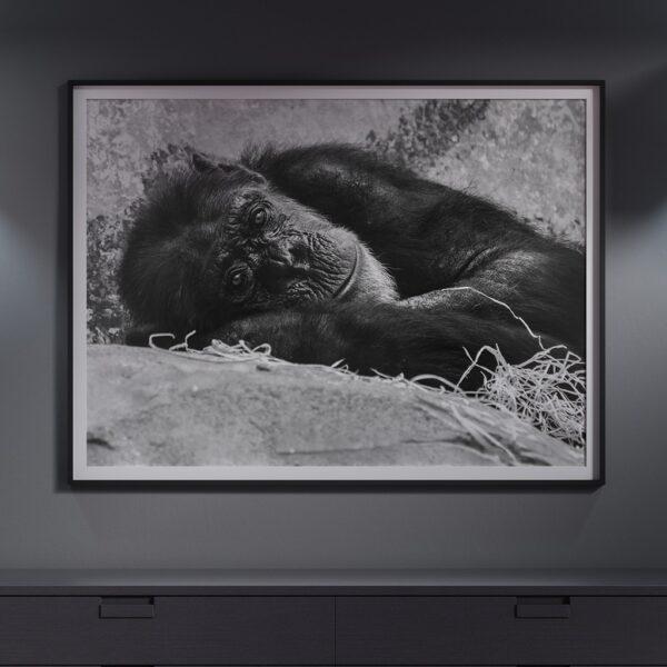 Affiche singe, zoo, sing pensant, poster déco animal