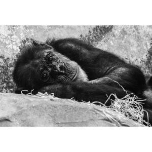 Affiche photo singe, zoo noir et blanc
