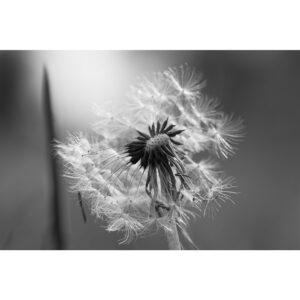 Poster fleur noir et blanc, photo pulsart in astris