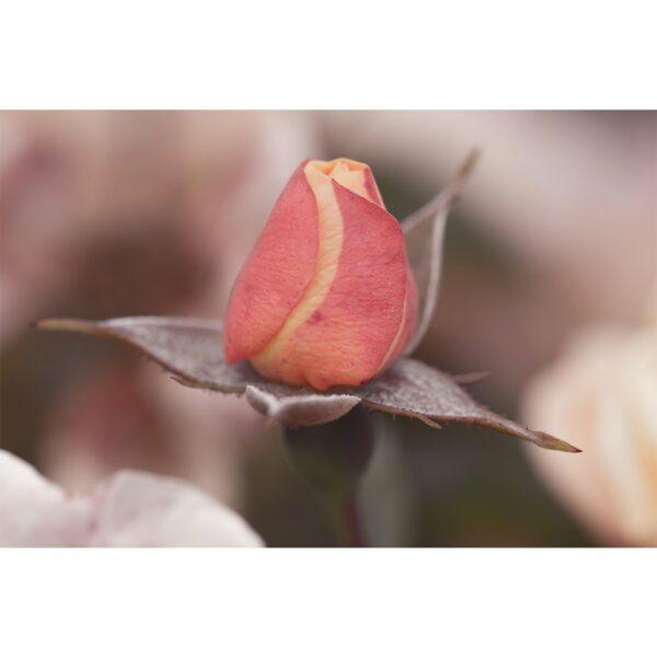 Affiche déco rose, fleur, photographie Pulsart in Astris