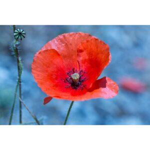 Affiche fleur, coquelicot rouge, déco florale