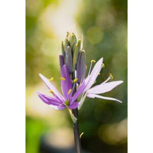 Affiche fleur violette en bourgeon, photographie pulsart in astris