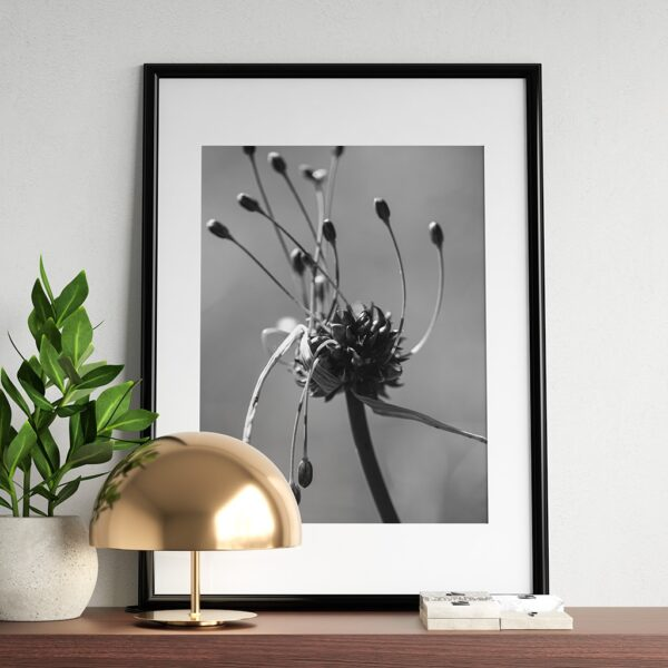 Affiche pulsart in astris, photo fleur en noir et blan