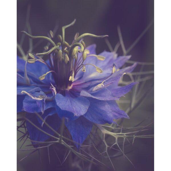Poster fleur photographie couleur, fleur violette