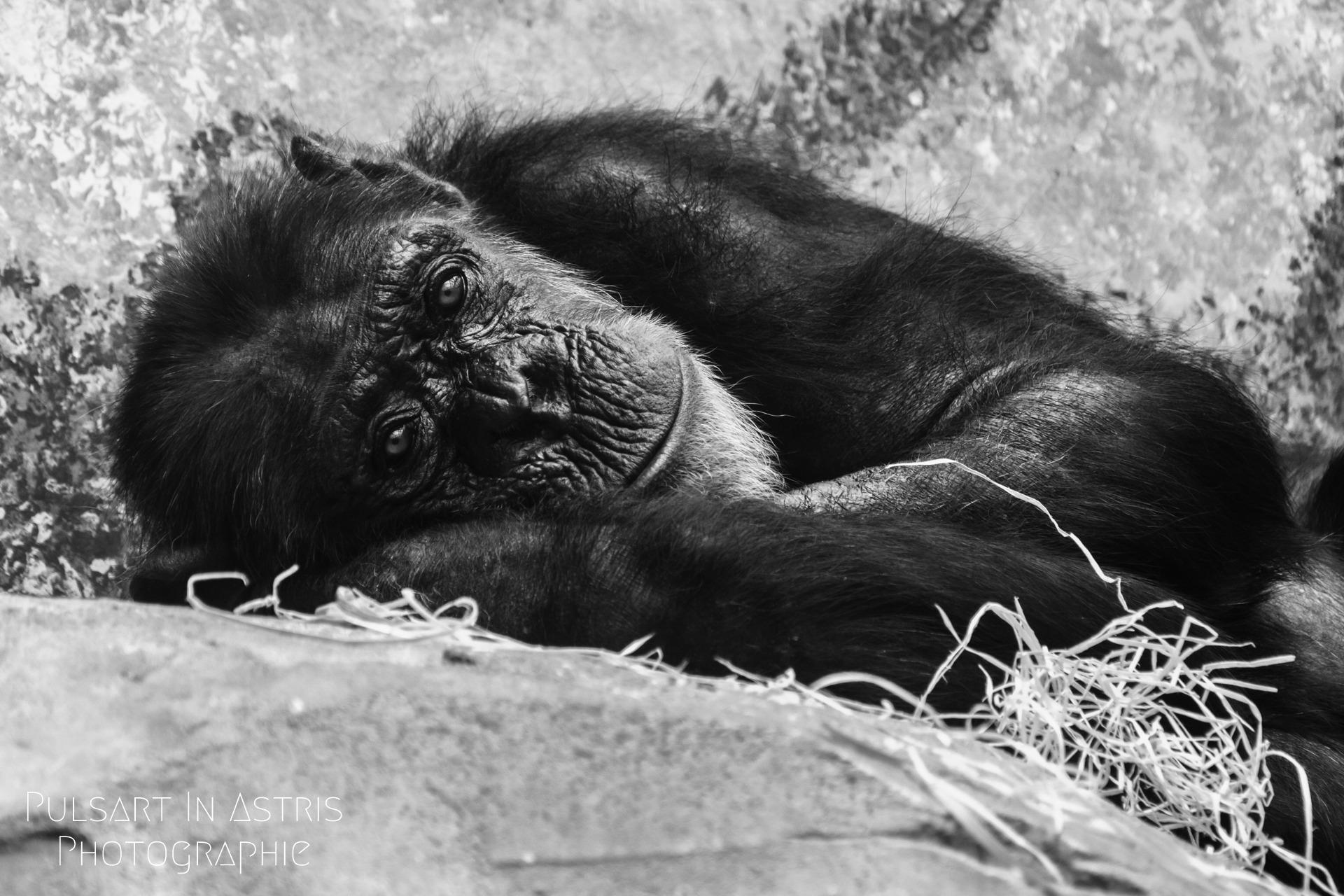 Vieux singe aux regard émouvant