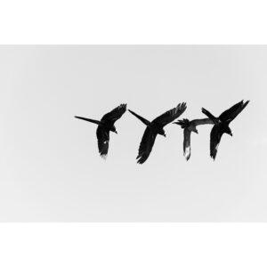 photo vol de perruche en formation