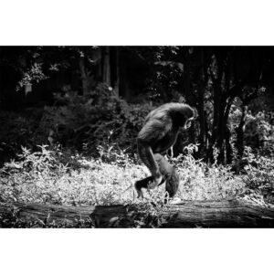 gibbon qui marche
