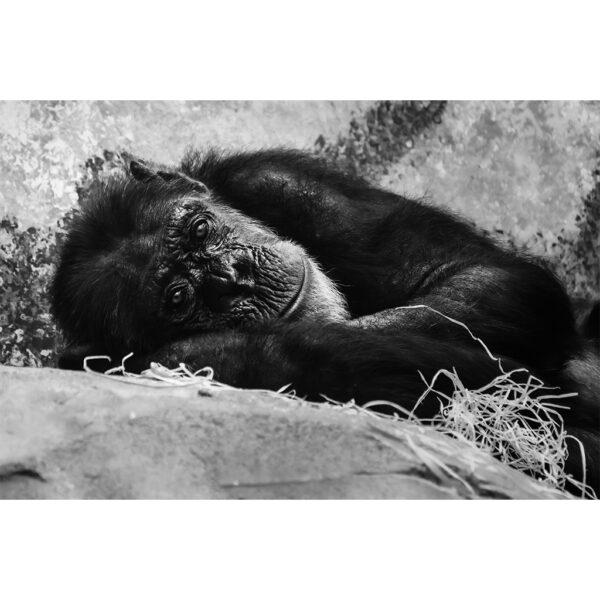 chimpanzé couché au regard triste