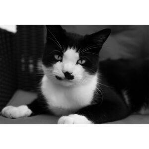 chat noie et blanc