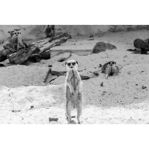 photo de suricate
