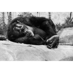 chimpanzé QUI DORT