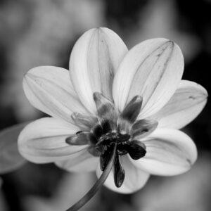 dahlia fleur de dos
