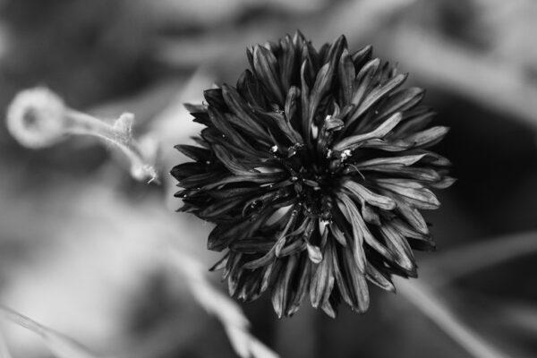 fleur bleuet photo