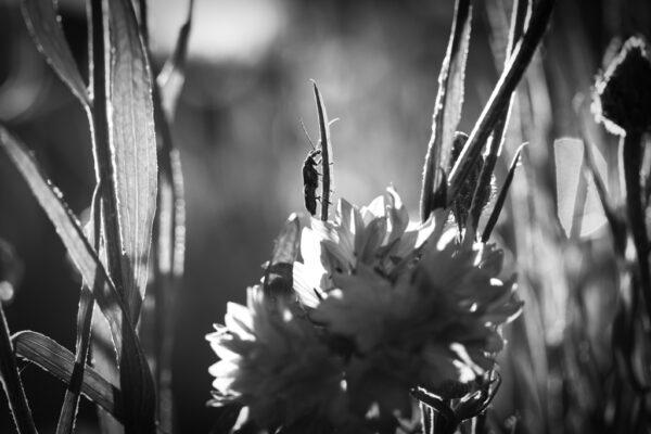 Bleuet et scarabé