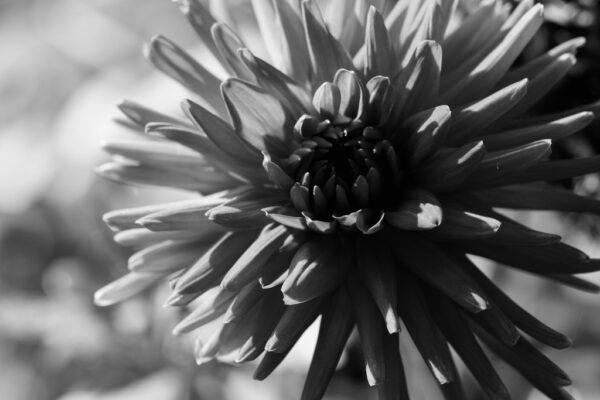 dahlia en fleur