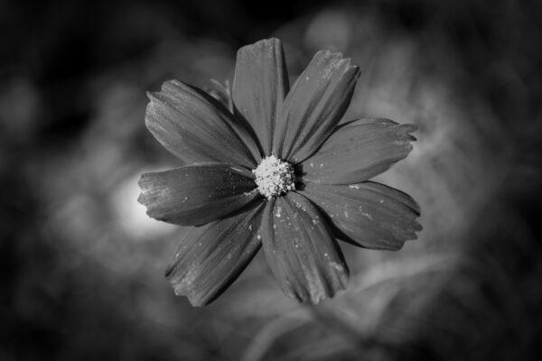 cosmos fleur