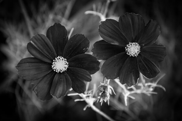 deux fleurs cosmos