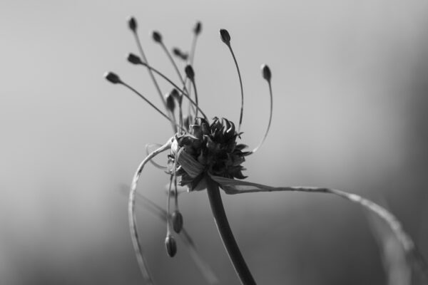 fleur ail